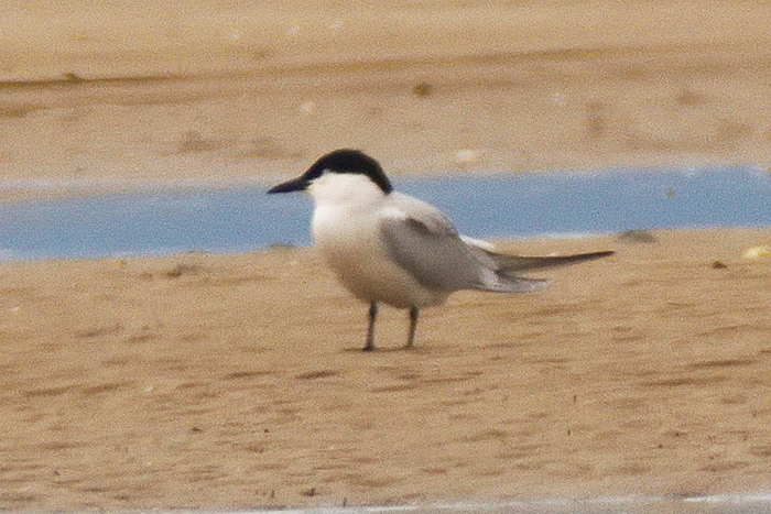 Common Gull-billed Tern